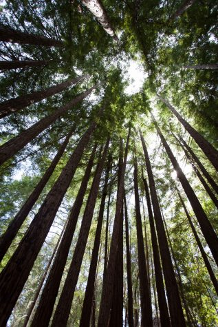 Amphitheater of the Redwoods (2 of 4)