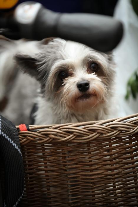 dog in basket in Amsterdam market